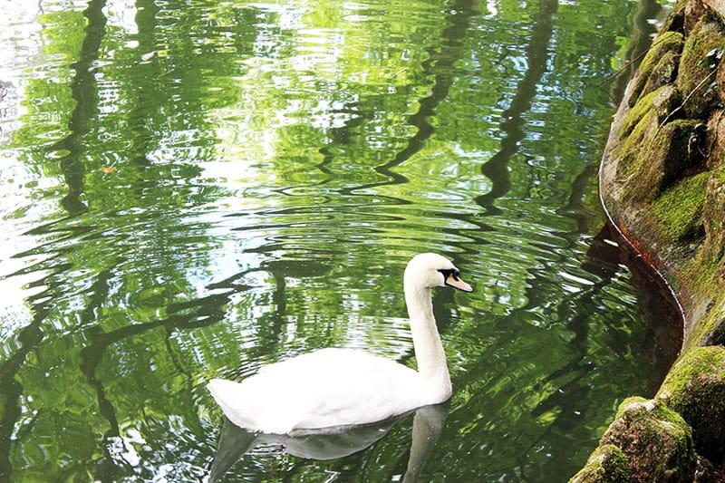 Swan at Sintra Palace